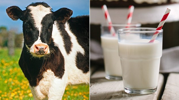 Sữa bò thô chưa tiệt trùng